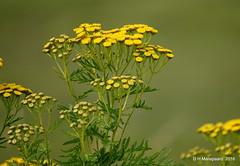 Boerenwormkruid (ditmaliepaard) Tags: boerenwormkruid bloem flower plant a6000 sony opdefiets haarsteegsewiel