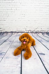 MATCHA LOW-26 (Michiez Chua Petography) Tags: poodle toypoodle singaporedog singapore redpoodle cute dog dogs canon 35mm studio studioshoot dogshoot