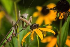 mantis! (Black Hound) Tags: sony a65 minolta bug insect prayingmantis mantis newlingristmill flower blackeyedsusan