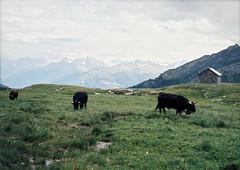 swiss cows (Catherine Lembl) Tags: cow mountains swiss alps montagnes analog cabin film 120mm mamiya645 staybrokeshootfilm sooc nature switzerland landscape