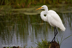 Heart of an Egret! (nature55) Tags: heart love white birds greategret
