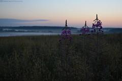 Meeting the sunrise (elizabeth_raccoon) Tags: morning russia nature sunrise flowers fog sky field