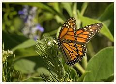 Monarch (gauchocat) Tags: tohonochulpark tucsonarizona