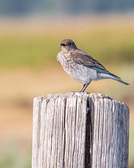 BLUEBIRD, Mountain (teddcenter) Tags: antelopeflats bird bluebird grandtetonnationalpark mountainbluebird tetoncounty wyoming