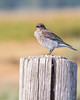 BLUEBIRD, Mountain (teddcenter) Tags: antelopeflats bird bluebird grandtetonnationalpark mountainbluebird tetoncounty wyoming