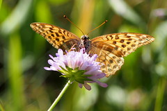 kznsges gyngyhzlepke / Queen of Spain Fritillary (debreczeniemoke) Tags: nyr summer rt meadow rovar insect insecta lepke pillang butterfly kznsgesgyngyhzlepke vndorgyngyhzlepke queenofspainfritillary petitnacr kleineperlmutterfalter issorialathonia tarkalepkeflk nymphalidae olympusem5