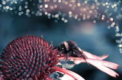 (Sternschnuppes Welt) Tags: macro blossom blte flower blume hummel insekt insect bumbelbee natur smallworld macroworld bokeh sternschnuppeswelt fotografie photografie photoshop bildbearbeitung filter
