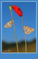 Kiss Cin Cin (Dieghito61) Tags: closeup kiss cincin nature nikon poppies butterfly