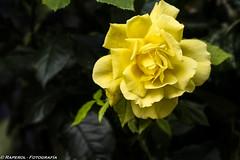 Rosa (raperol) Tags: 2007 300d amarillo flor flower garden jardn rosa yellow