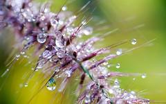 en suspension (christophe.laigle) Tags: rose drops macro pluie xf60mm fuji scintillement xpro2 gouttes ngc npc