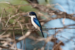 Forest Kingfisher (Todiramphus macleayii) (Stewart M) Tags: 2016 bird darwin eastpoint forestkingfisher kingfisher nt northernterritory
