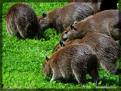 Family close up. Chester Zoo 5th August 2016 (Tigeress blue) Tags: capybara animal chesterzoo fauna wendyminto