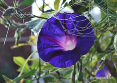 Morningglory (Mwap38) Tags: flower morning morningglory outdoors garden spiderweb spindelnt blomma nature naturephotography naturemasterclass nikon purple blue colored