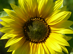 Almost the end of Summer (sunset1uk) Tags: sunflower sunflowers yellowflower yellowflowers summerflower summer hangleton hove eastsussex england autofocus