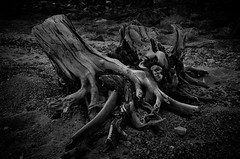 Wurzel (efgepe) Tags: 2016 skandinavien norwegen norge noreg norway bw sw schwarzweiss schwarzundweiss blackwhite wurzel baum tree root analogefexpro