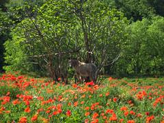 Burro y amapolas (efe Marimon) Tags: canonpowershots120 felixmarimon catalunya lleida lanoguera vilanovademei montsec burro amapolas