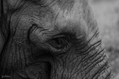 Miradas (J Fuentes) Tags: flickr save elefante elephant cabarceno cantabria ojo blancoynegro bw eye animal