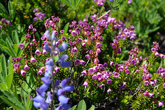 Heather on the Hill (Sotosoroto) Tags: dayhike hiking silverpeak washington cascades mountains flowers heather lupine