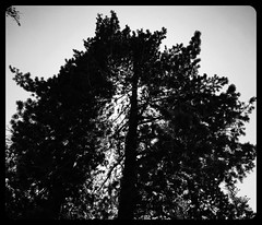 Silhouette Pine Cone Tree (Blue Rave) Tags: 2016 sanjacintomountains trail nature idyllwild california ca iphonephotography iphoneography trees suiciderocktrail hike hiking blackandwhite bw framed picturesinaframe frame pictureframe photoborder framedportraits silhouette silhouettephotography