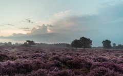 Head On (ghostedout) Tags: natural landscape soft serene heath dawn dunwich pastel trees england puple sunrise pine peaceful calm hazy aldeburgh fog heather coast uk suffolk