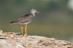 Greater Yellowlegs (NicoleW0000) Tags: greater yellowlegs shorebird sandpiper migration rock ontario bird photography nature