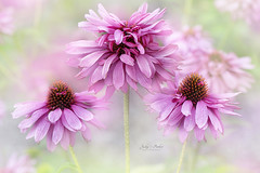 Echinacea Purpurea Pink Poodle (Jacky Parker Floral Art) Tags: echinaceapurpurea pinkpoodle flowers pink closeup macro selectivefocus focusonforeground horizontalformat outdoors nopeople summer2016 creativeedit beautyinnature floralart freshness fragility showy perennial plants flowerphotography macrophotography naturephotography nikon uk
