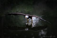 Testing the water (Susan Newgewirtz) Tags: nikon nikond750 raptor americanbaldeagle outdoor wildlifephotography ontario o