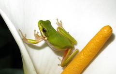Eastern Sedge Frog (Litoria fallax) (Heleioporus) Tags: eastern sedge frog litoria fallax south sydney new wales