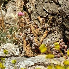 Cosentinia vellea (1) (pflanzenflsterer) Tags: pteridaceae andalusien spanien mittelmeer europa iberien portugal frankreich griechenland trkei turkey libyen tunesien algerien marokko makaronesien kanaren canaries himalaya chasmophyt poikilohyd farn haare staude immergrn cheilanthes notholaena