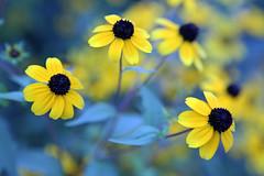 0426 (Jean Arf) Tags: antlerclub camp pineplains ny newyork summer 2016 flower blackeyedsusan close cu blur
