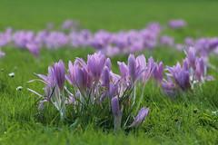 Herbstzeitlose (Elbmaedchen) Tags: herbstzeitlose herbst blumen pflanzen plant flower stadtpark wiese