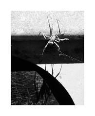 Spider (One-Basic-Of-Art) Tags: spinne spider blackandwhite black white weis weiss schwarz sw bw noiretblanc noir blanc fotorahmen rahmen fotografie photography canon canonixus canonixus500hs achtbeinig arachnida