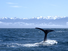 Sperm whale diving (sbszine) Tags: sea newzealand mountains whale kaikoura pp 100mmequivalent olympus1250mmf3563