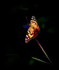 Tiny Survivor (montreal_bunny) Tags: orange macro nature butterfly wings october soe 2012 efs60mmf28macrousm cmwdorange top20butterflyphotos 2012yip canont3i 3662012
