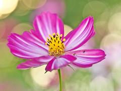 Cosmos /  (Yoichi_) Tags: flower cosmos showakinenpark