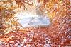 seasons jest (.:: Maya ::.) Tags: road autumn winter red white mountain snow tree leaves woods path bulgaria есен листа beech зима родопи сняг белинташ червени mayaeye mayakarkalicheva маякъркаличева