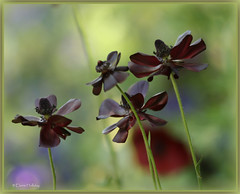 beautiful brown (loobyloo55) Tags: black flower canon flora bokeh anemone floraandfauna