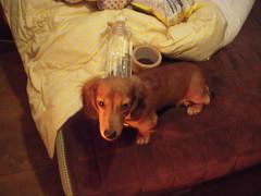 DSCN9484 (Midori & Jasper) Tags: red dog brown cute nikon funny jasper dachshund lovely  minidachshund dapple doxie      d3100 dupple
