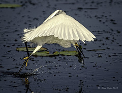 Lake Istokpoga - Snowy Egret Strikes (stan hope) Tags: morning usa lake nature water birds nikon florida wildlife ngc npc swamp sebring d3 birdsofprey waterbirds snowyegret topaz floridawildlife lakeplacidflorida specanimal highlandscounty lakeistokpoga allofnatureswildlifelevel1 allofnatureswildlifelevel2 allofnatureswildlifelevel3 me2youphotographylevel2 loridaflorida me2youphotographylevel3 me2youphotographylevel1 freedomtosoarlevel1birdphotosonly me2youphotographylevel4