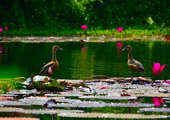 Twins (Kumaravel) Tags: bird water nikon dof waterlily bokeh pair goa kumaravel theleelagoa d3100