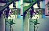 Lens1 (Hoàng Design) Tags: flower tulips niceflower