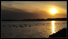 Swans in shimmer lights! (bent.christiansen) Tags: light sunset sea sun nature yellow landscape denmark landscapes swan nikon nocturnal darkness dusk swans danmark lolland yellowlight thegalaxy nikond5000 blinkagain rememberthatmomentlevel1