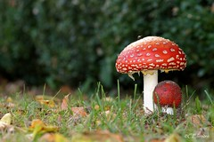 Fliegenpilz  / fly agaric (Ellenore56) Tags: autumn light oktober inspiration color colour detail macro reflection fall nature mushroom licht photo october focus foto emoti