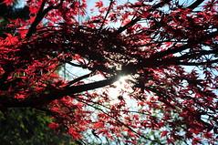 Ahorn (rmh2008) Tags: autumn red sun rot soleil herbst sole albero sonne autunno rosso baum strauch controluce gegenlicht ahorn herbststimmung