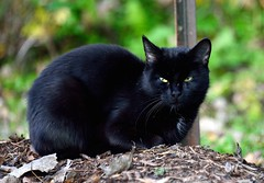 Abandonn / Abandoned (anjoudiscus) Tags: black abandoned nature cat chat noir ange triste gato octobre 2012 regard seul d800 abandonn errant pdu parcdelafrayre nikkor28300mmvr