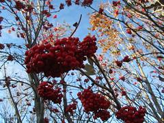 Iceland - Hvolsvollur - Skogasafn Folk Museum - Autumn Berries (JulesFoto) Tags: museum iceland folkmuseum skogar autumnberries skogasafn hvolsvollur