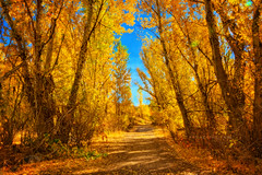 Forests of gold (Anna Gorin) Tags: autumn trees fall nature forest canon landscape gold golden woods path sigma idaho boise 7d aspens hdr militaryreservepark dirtpath photomatix 1750mm