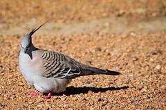 Crested Pigeon (akwan.architect) Tags: bird pigeon wildlife australian crest crested erect