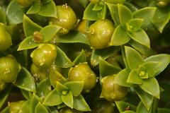 Honckenya peploides (Angervaks) Tags: peploides honckenya