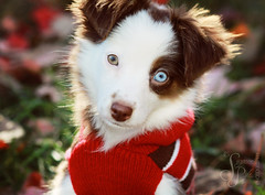 Meet Gracie (Suzanne Pyle Photography) Tags: autumn dog fall girl animal puppy october greeneye blueeye dogsweater austrailianshepherd miniatureaustrailianshepherd suzannepylephotography